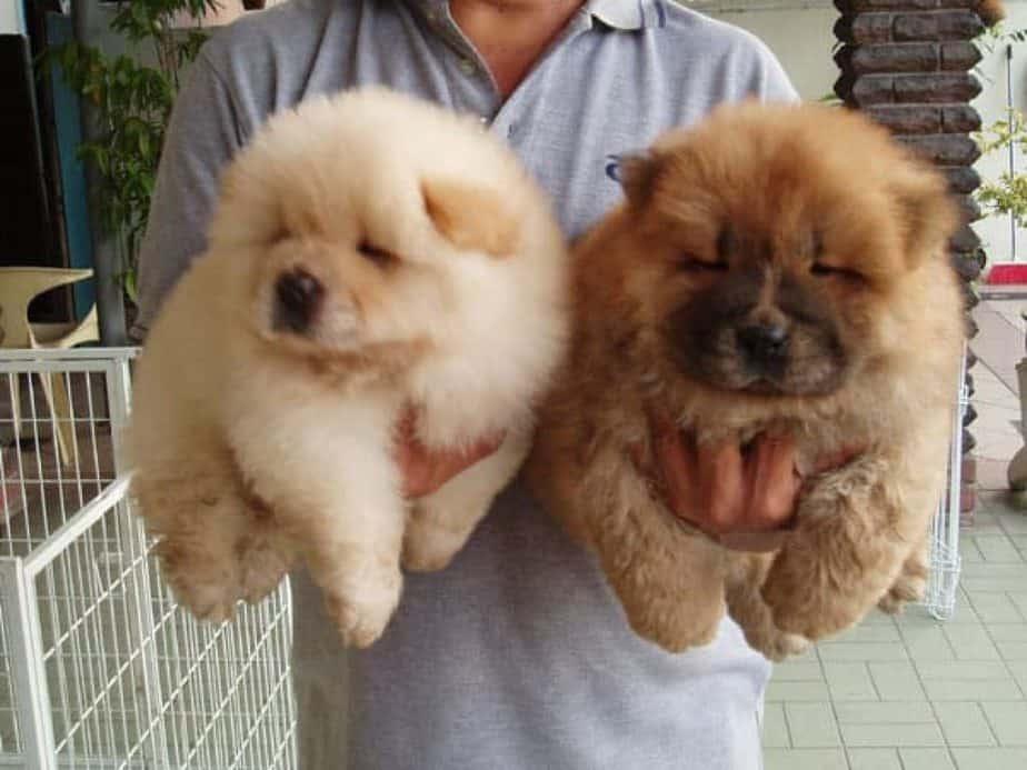 Giống chó Chow Chow