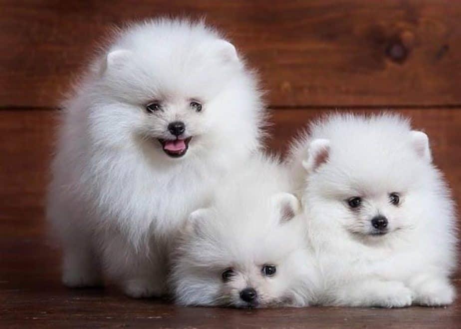 giống chó phốc sóc Pomeranian